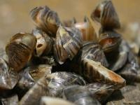 zebra mussel fouling